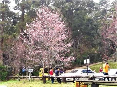 pict-Cherry blossoms are in full2.jpg