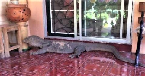 pict-giant Monitor Lizard 3.jpg